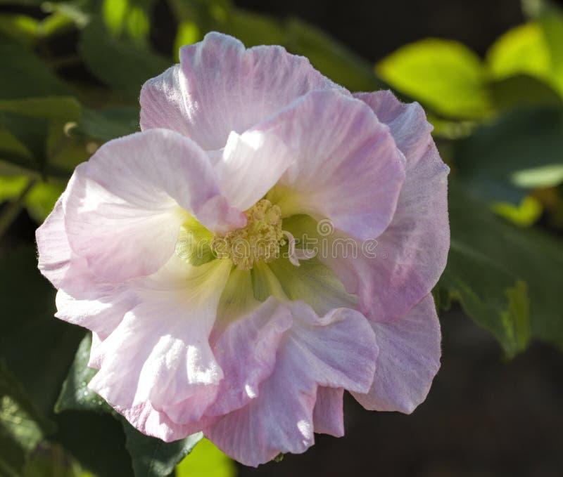 Fleur rose en pastel de Rose confédérée - mutablis de ketmie images libres de droits