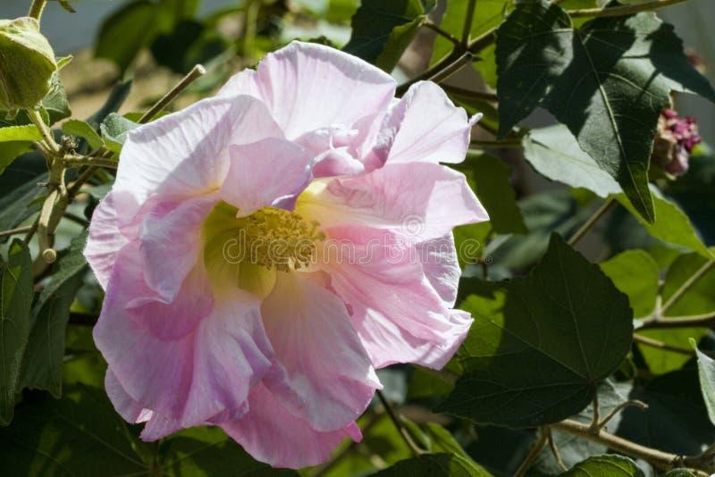 Fleur rose en pastel de Rose confédérée - mutablis de ketmie photographie stock libre de droits
