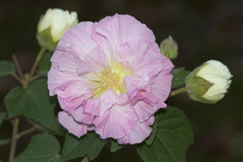 Fleur rose en pastel de Rose confédérée - mutablis de ketmie photo libre de droits