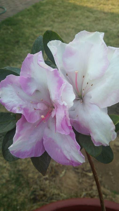 Fleur rose et blanche image stock