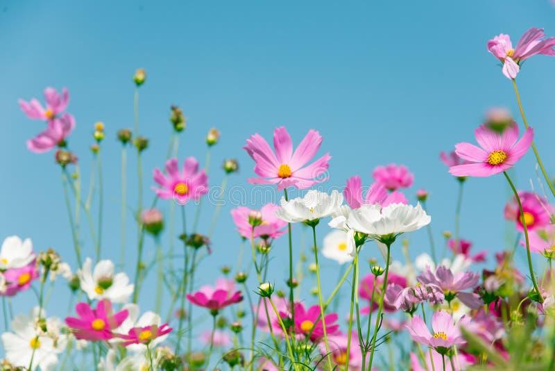 Fleur rose et blanche de cosmos photographie stock
