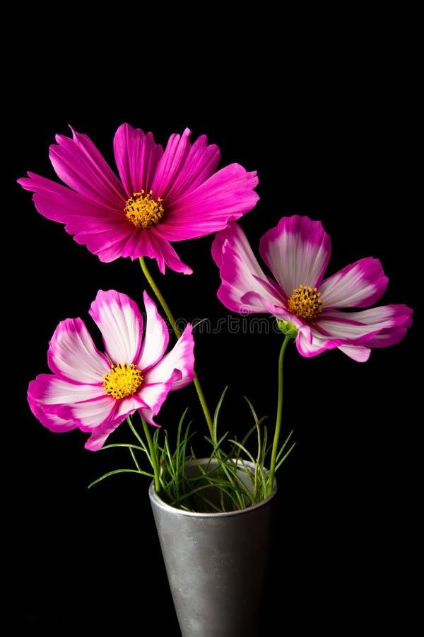 Fleur rose et blanche de cosmos images stock