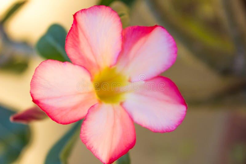 Fleur rose et jaune photo libre de droits