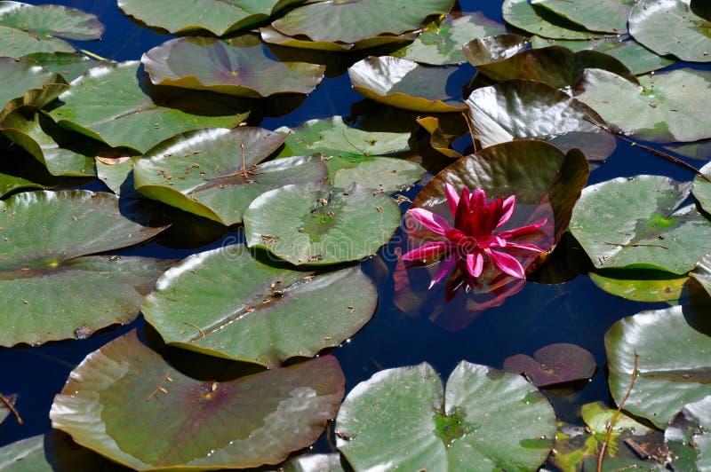 Fleur rose flottant parmi Lily Pads photographie stock