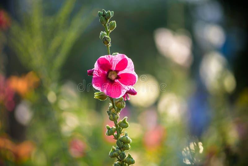 Fleur rose lumineuse de rose trémière dans le jardin Fleurs de mauve Profondeur de zone Foyer sélectif photos libres de droits