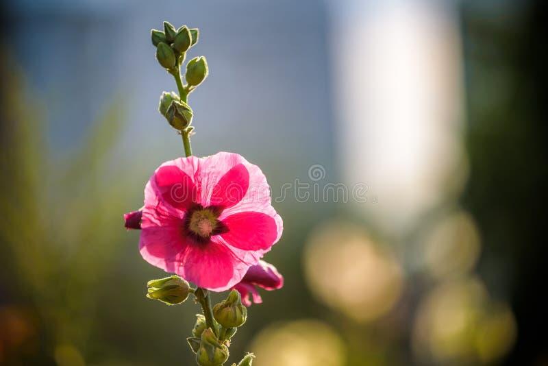 Fleur rose lumineuse de rose trémière dans le jardin Fleurs de mauve Profondeur de zone Foyer sélectif photo stock