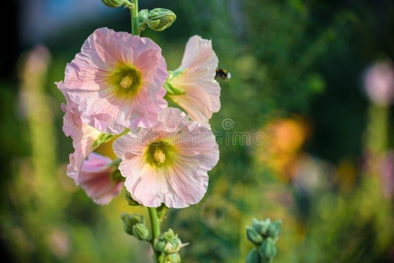 Fleur rose lumineuse de rose trémière dans le jardin Fleurs de mauve Profondeur de zone Foyer sélectif image libre de droits