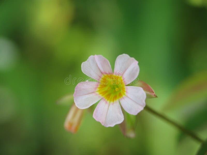Fleur rose minuscule avec le fond mou photo libre de droits