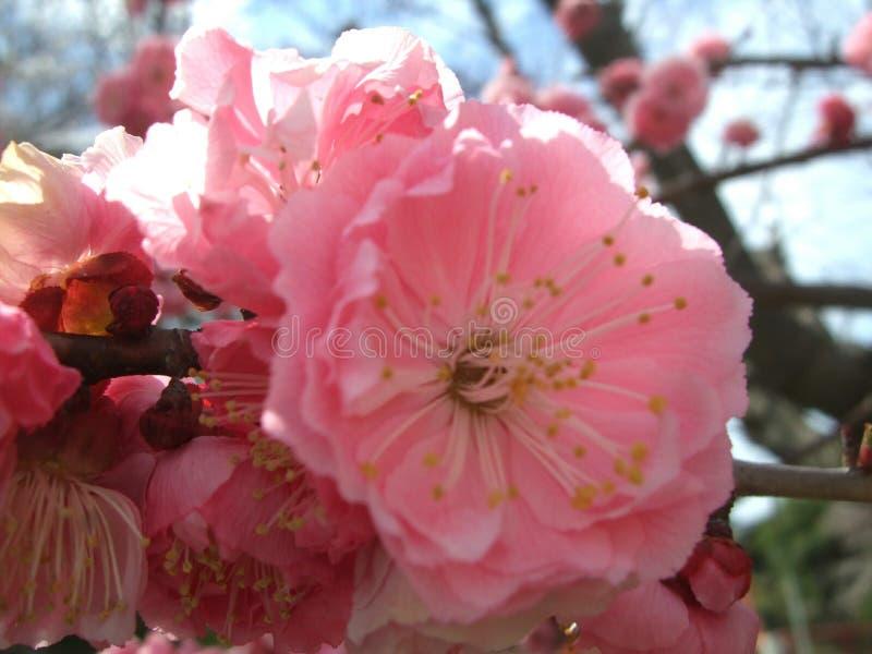 Fleur rose @ naturelle photo stock