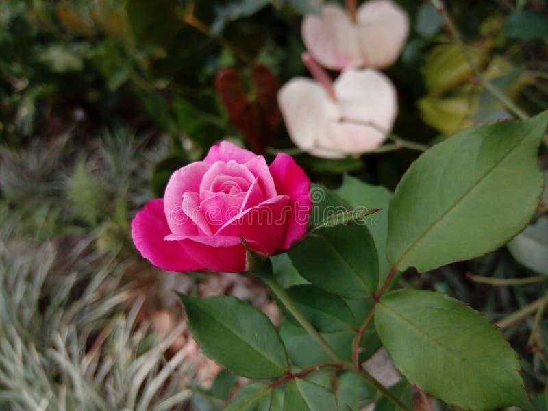 Fleur rose naturelle du Sri Lanka photographie stock libre de droits