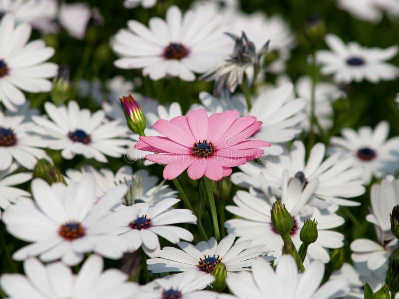 Fleur rose parmi le blanc   images stock