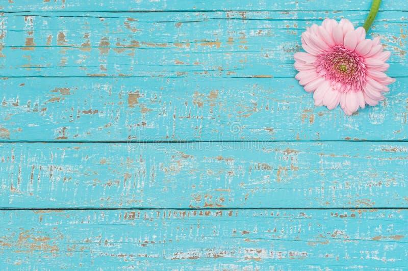 Fleur rose romantique de gerbera sur le bois minable bleu-clair image libre de droits