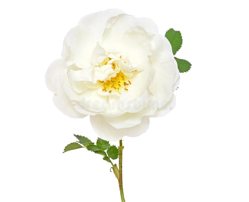 Fleur rose sauvage blanche photographie stock
