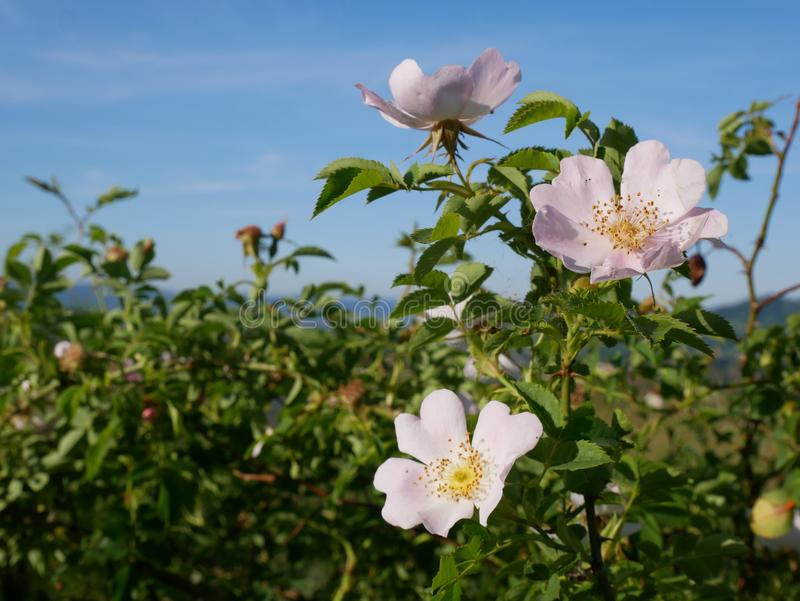 Fleur rose Rose sauvage rose ou le dogrose fleurit avec des feuilles sur le fond de ciel bleu images stock