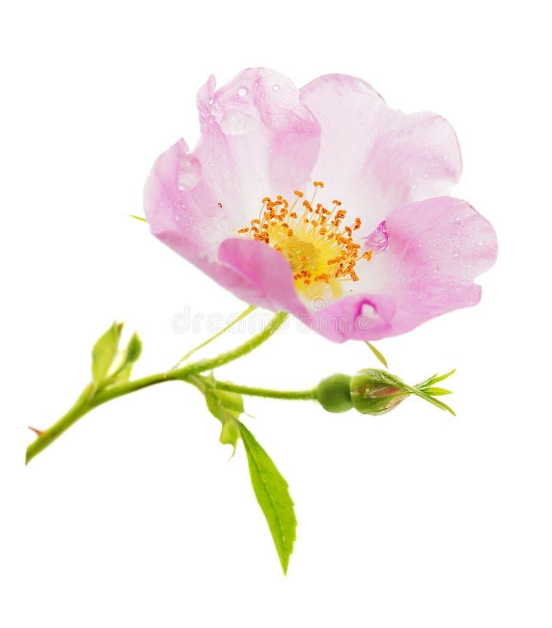 Fleur rose sauvage rose photo stock