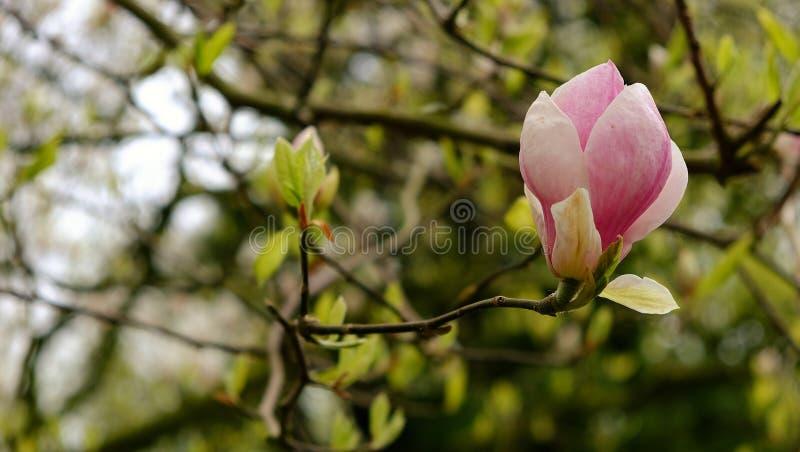 Fleur rose sur l'arbre image stock