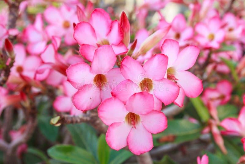 Fleur rose sur l'arbre d'obesum d'Adenium images libres de droits