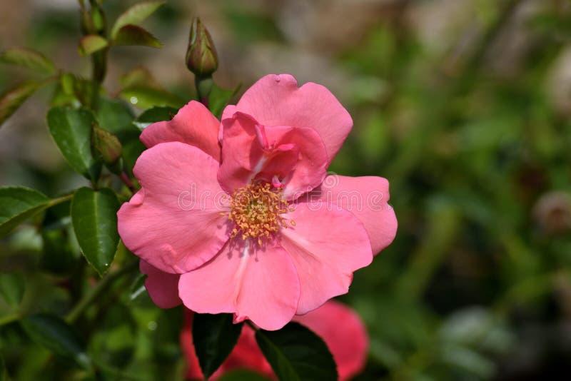 Fleur rose sur le buisson photographie stock