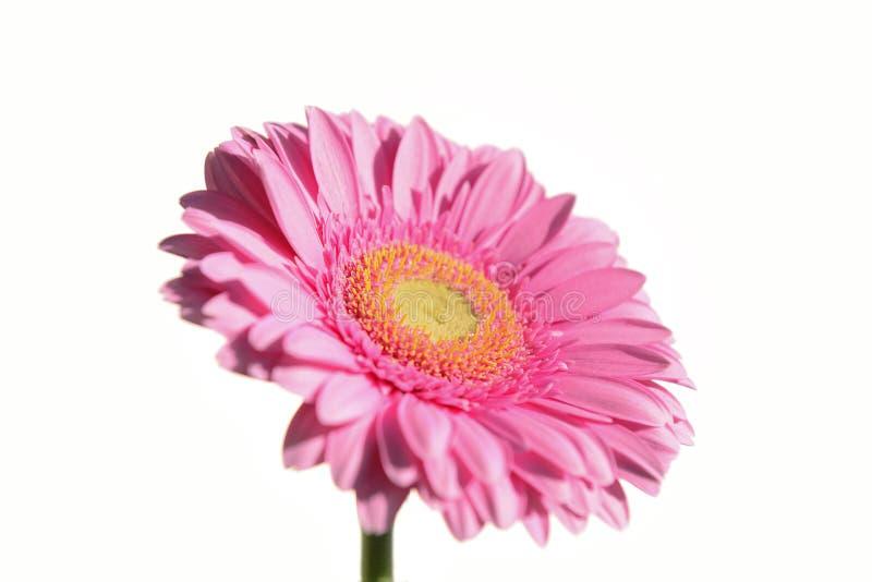Fleur rose sur le fond blanc photo libre de droits
