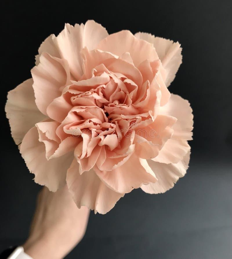 Fleur rose sur le fond gris image stock