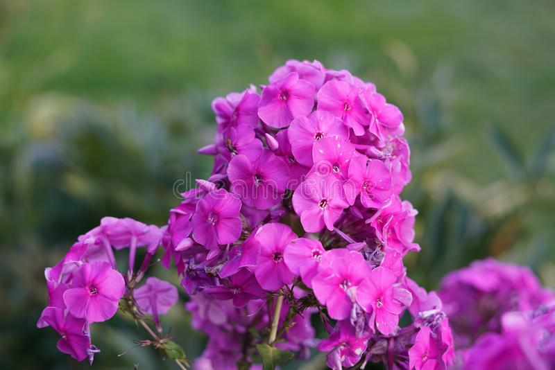 Fleur rose sur un fond d'herbe verte photographie stock