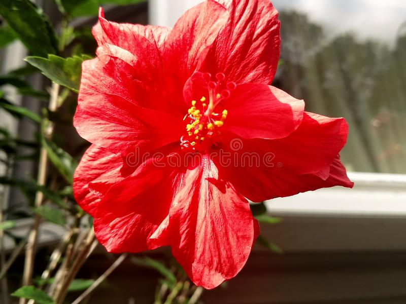 Fleur rouge photo libre de droits