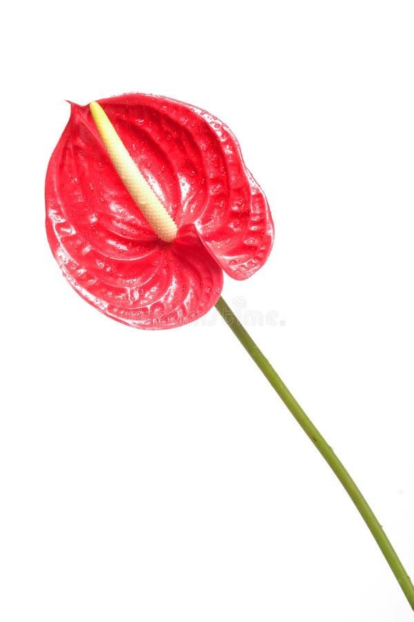 Fleur rouge 2 photos stock