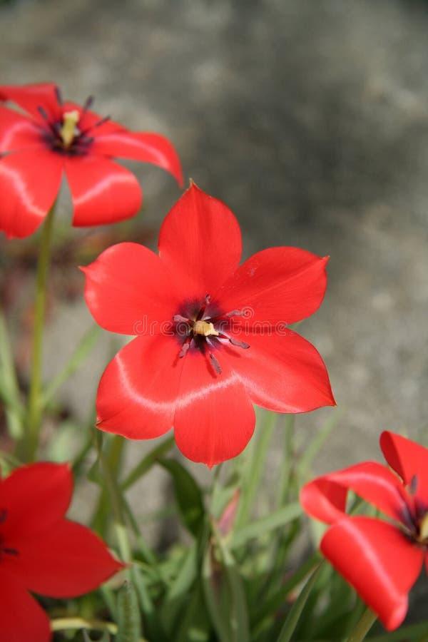 Download Fleur rouge photo stock. Image du beauté, floraison, pétale - 725246
