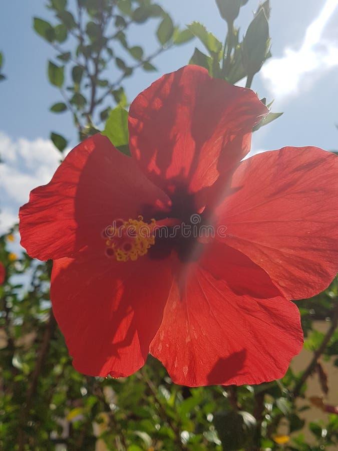 Fleur rouge photo stock
