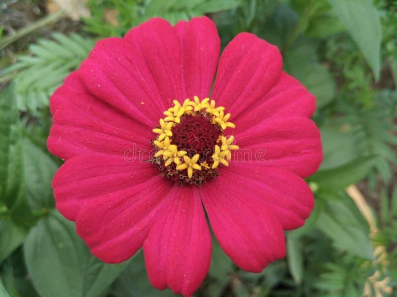 Fleur rouge photos stock