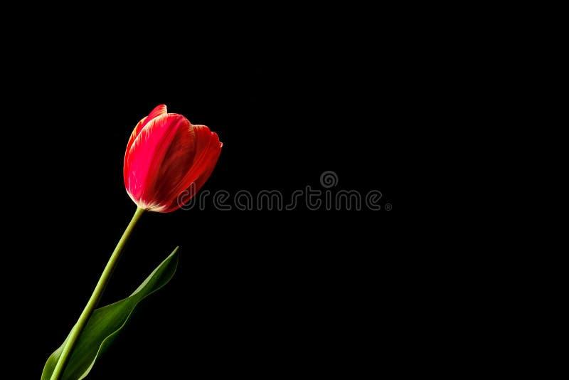 Fleur rouge avec la feuille verte sur le fond noir Fond pour desing photo stock