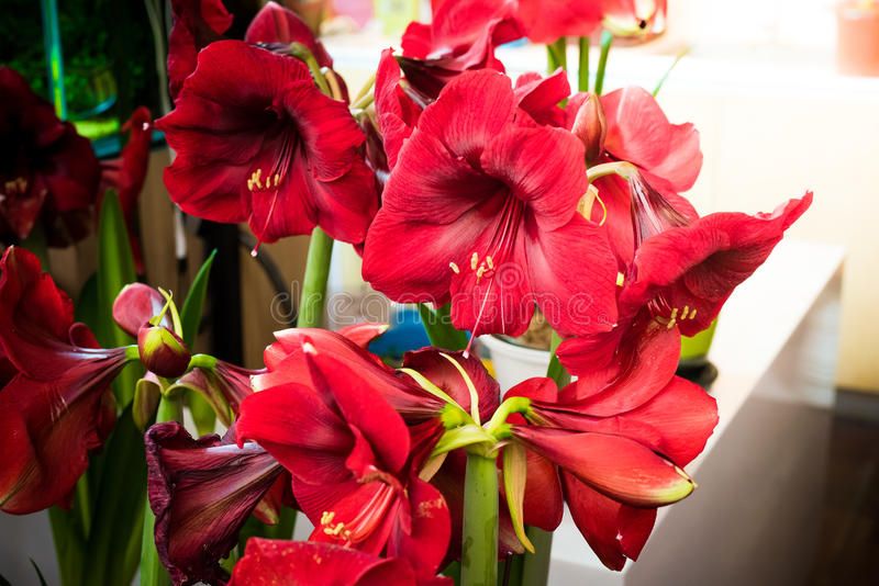 Fleur rouge avec le nom latin amaryllis photo stock for Les amaryllis fleurs