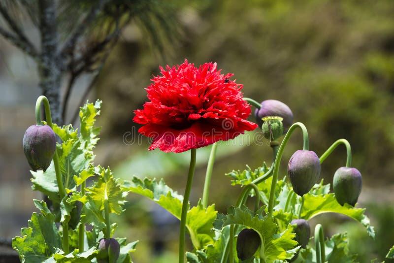 Fleur rouge bhoutanaise de pavot à opium avec la capsule, Bhutan photos stock