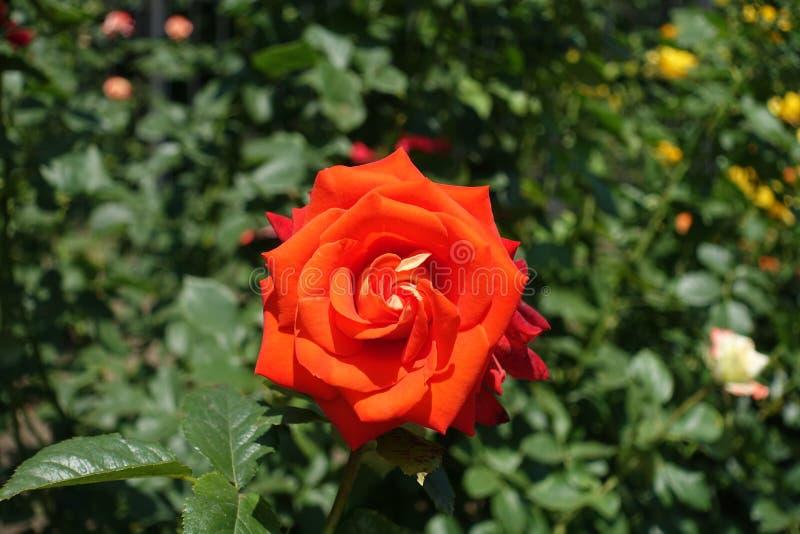 Fleur rouge d'écarlate de rose en juin photos libres de droits