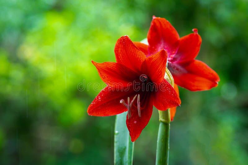 Fleur rouge d'amaryllis sur le fond vert avec pleuvoir photographie stock