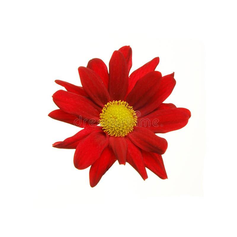 Fleur rouge d'aster photographie stock libre de droits