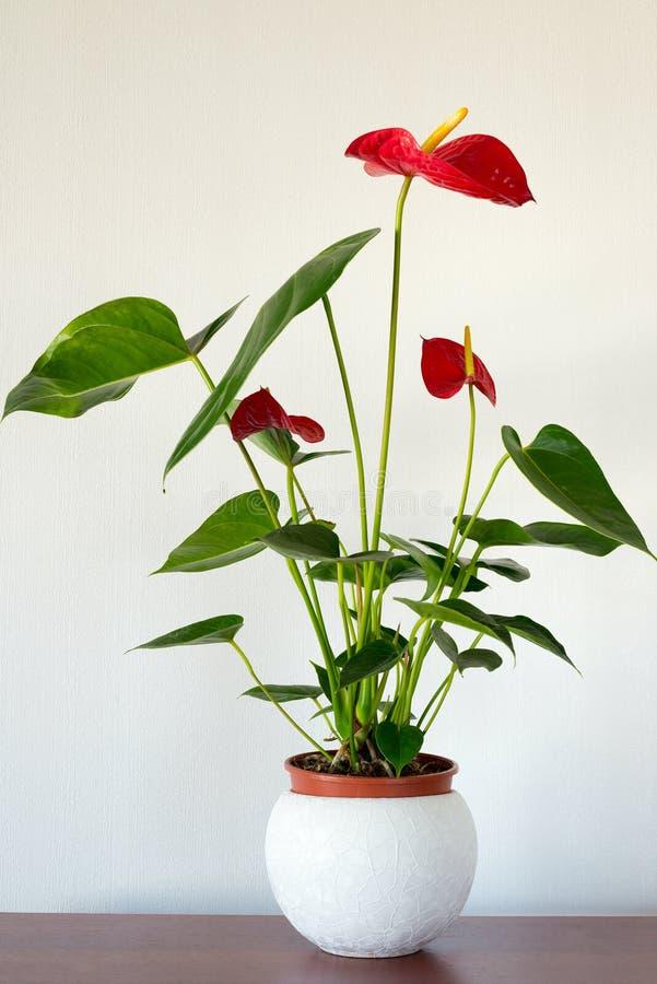 Fleur rouge d'intérieur d'anthure dans l'intérieur photos stock