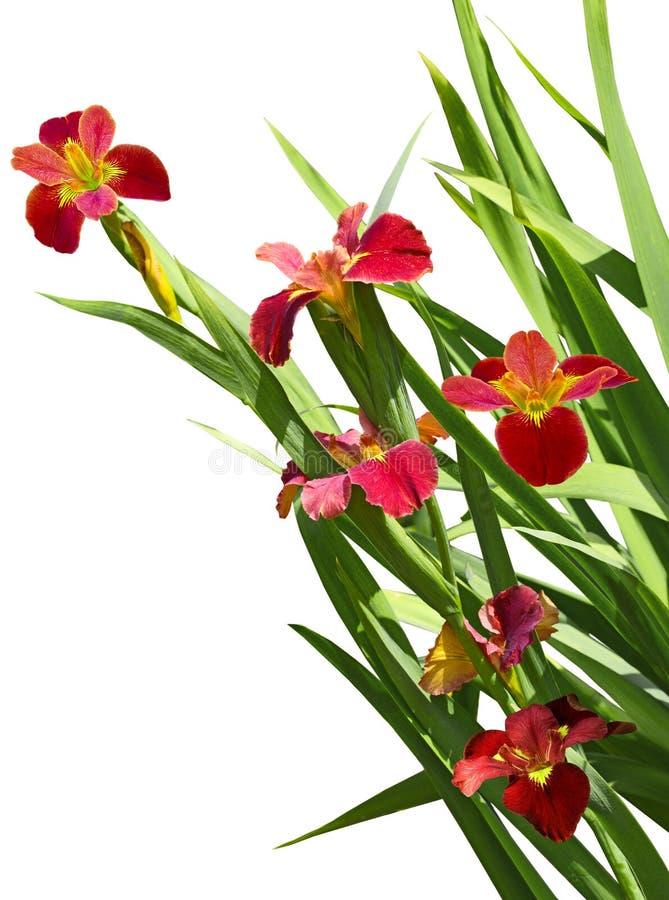 Fleur rouge d'iris photos stock