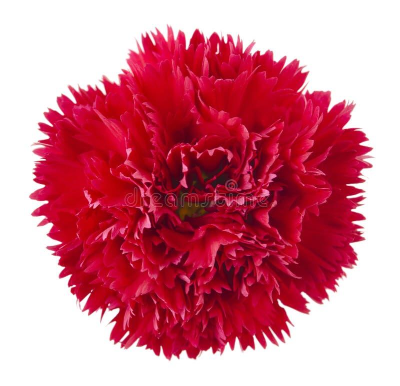 Fleur rouge d'oeillet photographie stock libre de droits