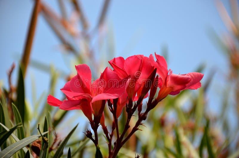 Fleur rouge d'oléandre en fleur d'été images libres de droits