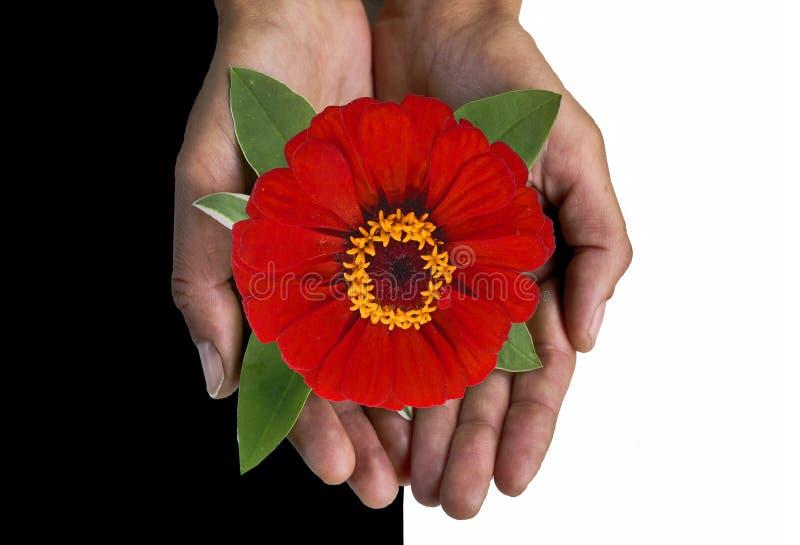 Fleur rouge dans des paumes. image libre de droits