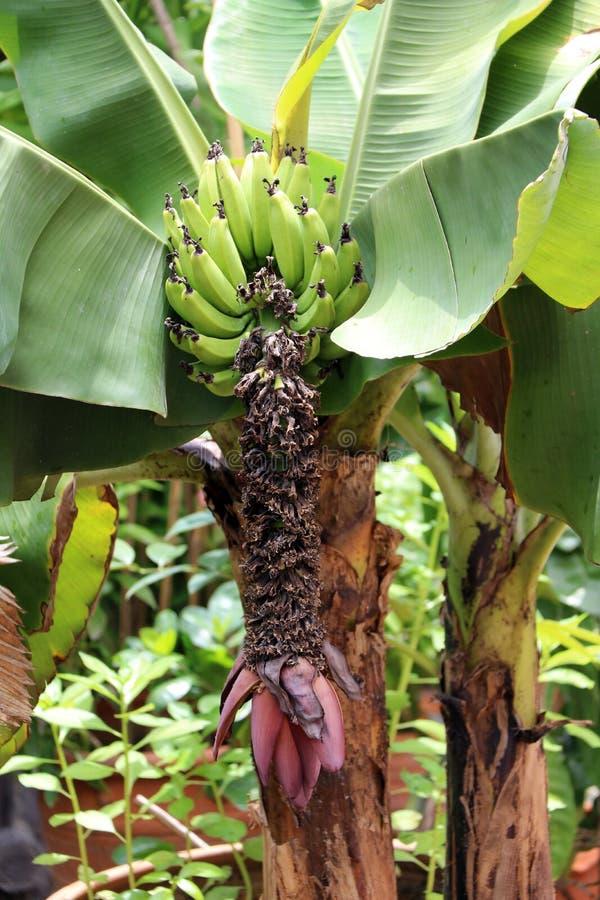 Fleur rouge de banane poussant de l'extrémité d'un groupe de banane cultivée de l'arbre avec la feuille photos libres de droits