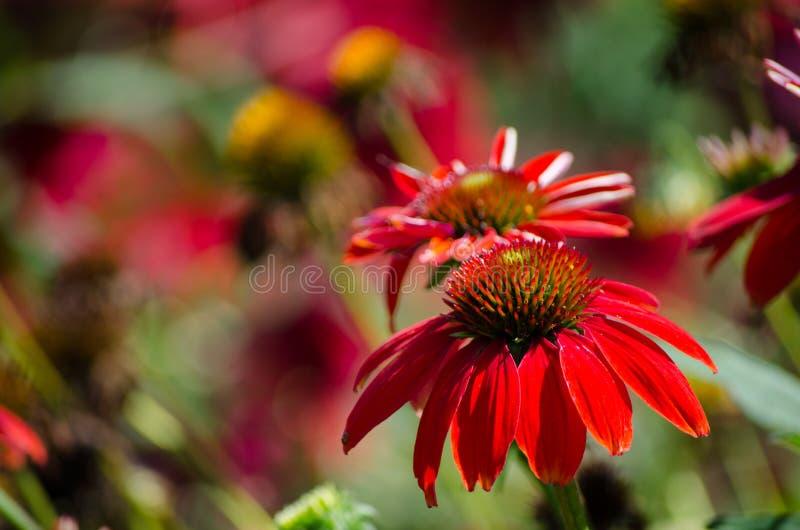 Fleur rouge de ` de beau d'echinacea de ` Salsa de sombrero dans un printemps à un jardin botanique images libres de droits