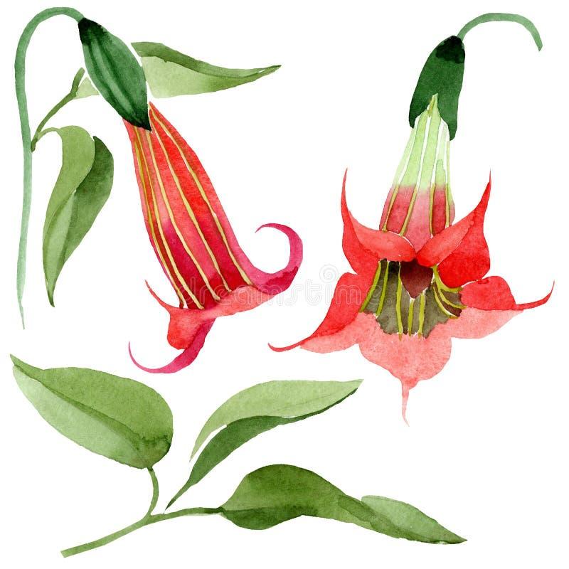 Fleur rouge de brugmansia d'aquarelle Fleur botanique florale Élément d'isolement d'illustration illustration libre de droits