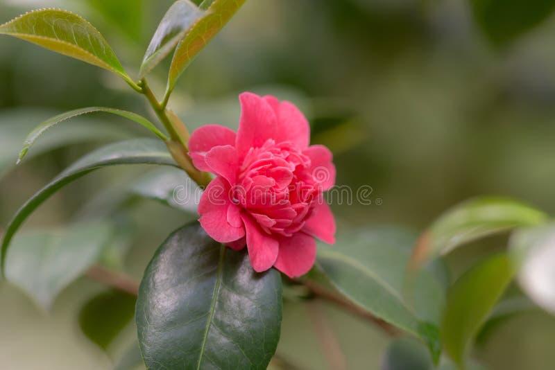 Fleur rouge de camélia photo stock