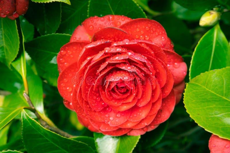 Fleur rouge de camélia avec des baisses de pluie image libre de droits