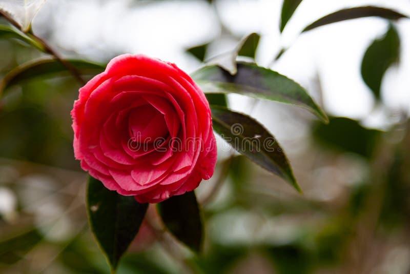 Fleur rouge de cam?lia photographie stock libre de droits