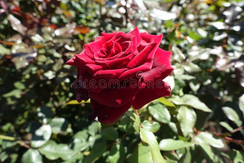 Fleur rouge de carmin de rose en septembre photos stock