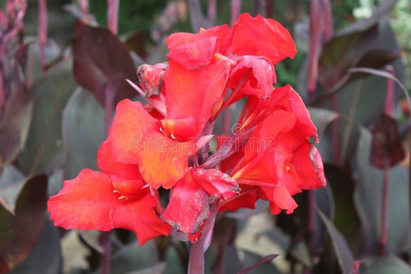 Fleur rouge de carmin photographie stock libre de droits