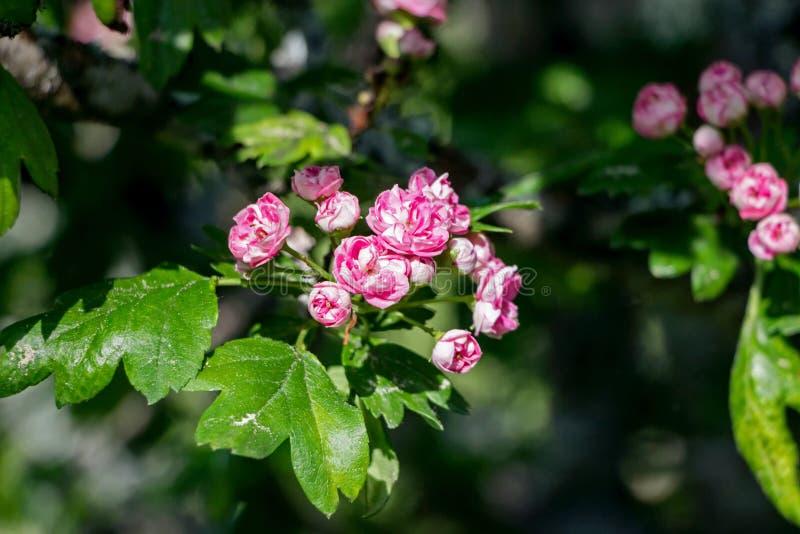 Fleur rouge de fleur d'aubépine sur la branche photo stock